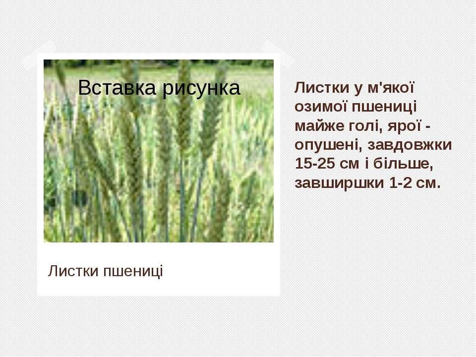 Листки у м'якої озимої пшениці майже голі, ярої- опушені, завдовжки 15-25 см...