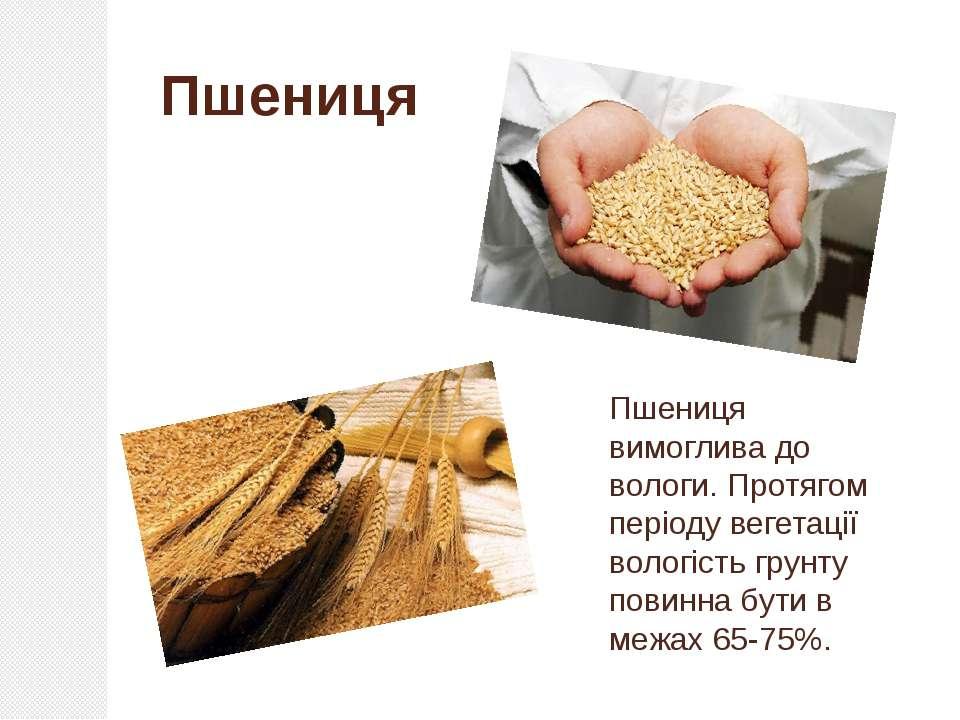Пшениця вимоглива до вологи. Протягом періоду вегетації вологість грунту пови...