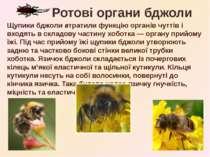 Щупики бджоли втратили функцію органів чуттів і входять в складову частину хо...