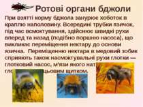 При взятті корму бджола занурює хоботок в краплю наполовину. Всередині трубки...
