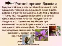 Будова хоботка у всіх особин бджолиної сім'ї однакова. Різниця заключається л...