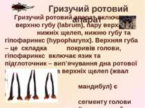 Гризучий ротовий апарат включає верхню губу (labrum), пару верхніх та нижніх ...