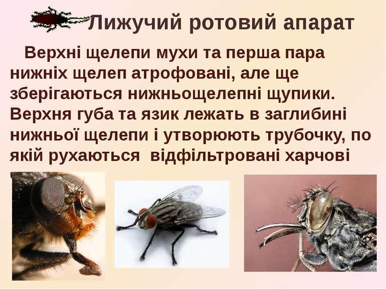 Верхні щелепи мухи та перша пара нижніх щелеп атрофовані, але ще зберігаються...