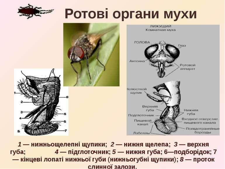 1 — нижньощелепні щупики; 2 — нижня щелепа; 3 — верхня губа; 4 — підглоточник...
