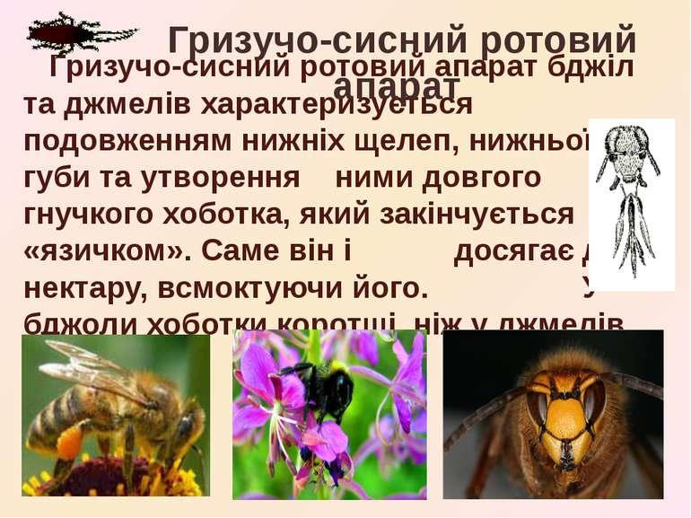 Гризучо-сисний ротовий апарат бджіл та джмелів характеризується подовженням н...