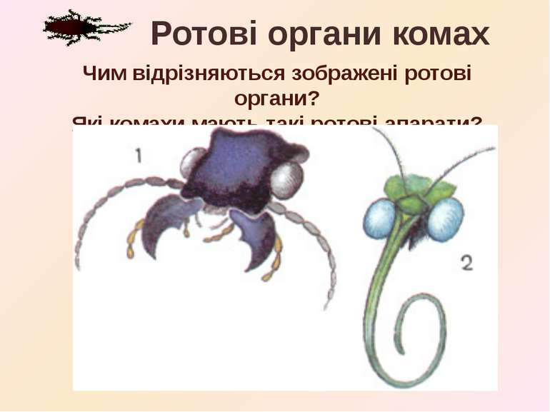 Ротові органи комах Чим відрізняються зображені ротові органи? Які комахи маю...