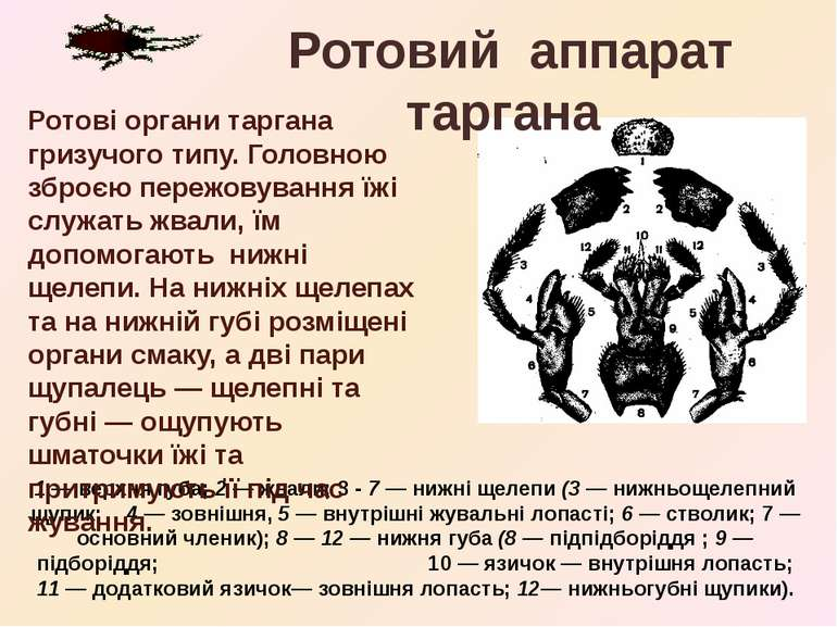 1 — верхня губа; 2 — жвали; 3 - 7 — нижні щелепи (3 — нижньощелепний щупик; 4...