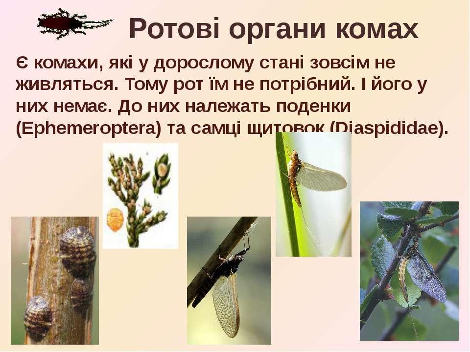 Є комахи, які у дорослому стані зовсім не живляться. Тому рот їм не потрібний...