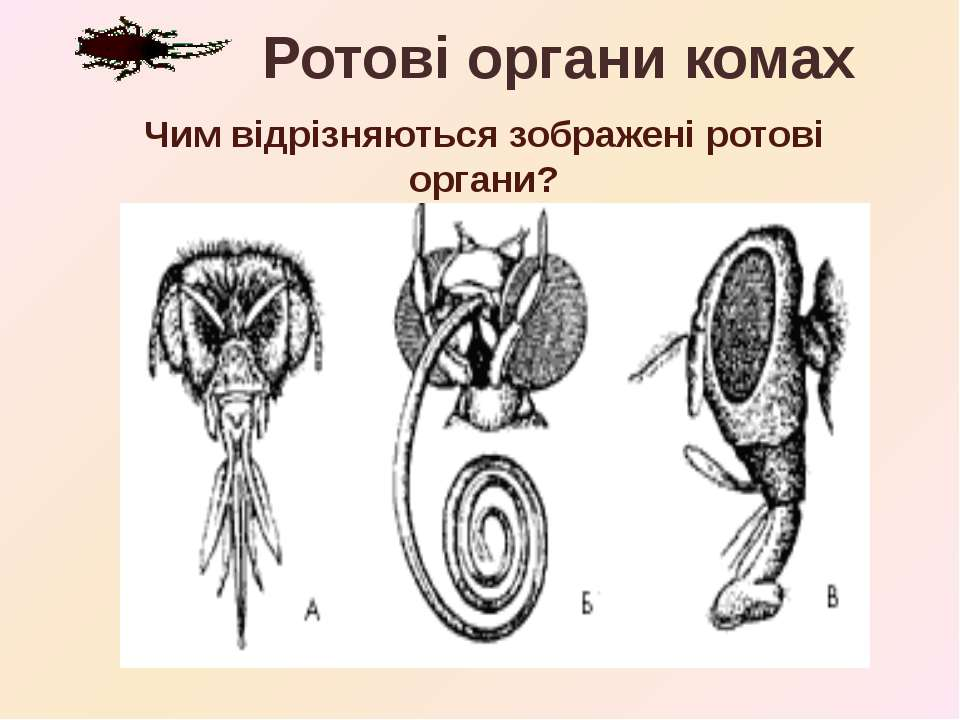 Чим відрізняються зображені ротові органи? Ротові органи комах