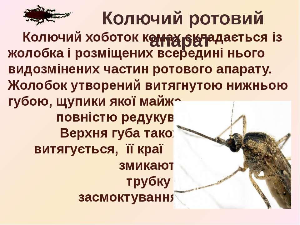 Колючий хоботок комах складається із жолобка і розміщених всередині нього вид...