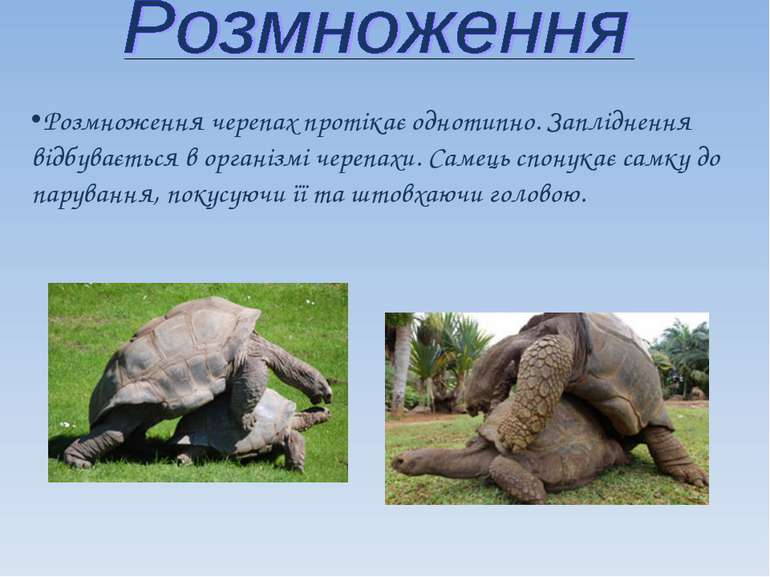 Розмноження черепах протікає однотипно. Запліднення відбувається в організмі ...