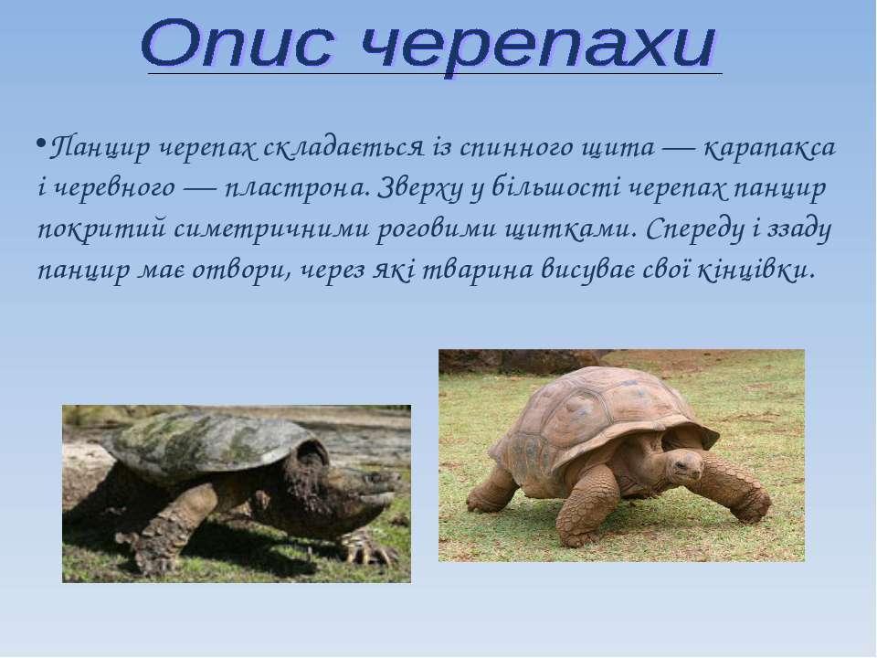 Панцир черепах складається із спинного щита — карапакса і черевного — пластро...