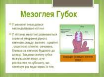 У мезоглеї знаходяться неспеціалізовані клітини У клітинах мезоглеї розвивают...