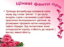"""Троянди флорибунда отримали свою назву від слова """"рясно"""". У цю групу входять ..."""