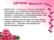 Шраби (Shrub - в перекладі – чагарник) - дуже велика група троянд – тут є вел...