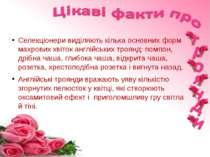 Селекціонери виділяють кілька основних форм махрових квіток англійських троян...