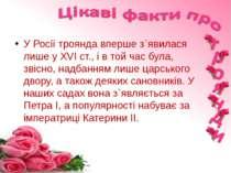 У Росії троянда вперше з`явилася лише у ХVI ст., і в той час була, звісно, на...