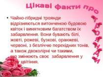 Чайно-гібридні троянди відрізняються витонченою будовою квіток і винятковим б...