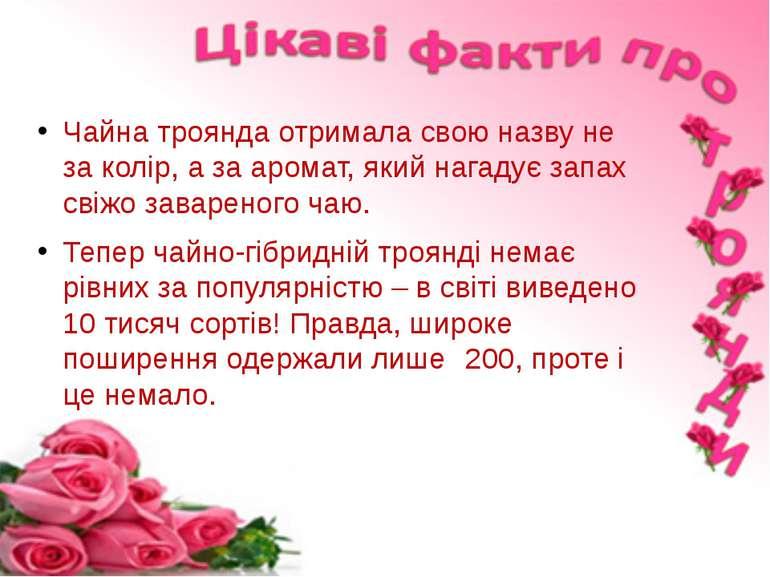 Чайна троянда отримала свою назву не за колір, а за аромат, який нагадує запа...