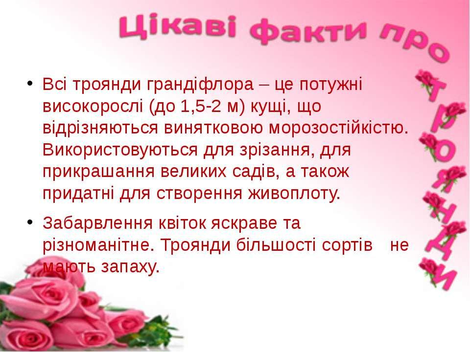 Всі троянди грандіфлора – це потужні високорослі (до 1,5-2 м) кущі, що відріз...