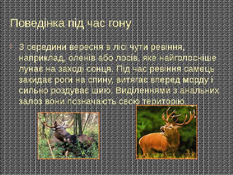 Поведінка під час гону З середини вересня в лісі чути ревіння, наприклад, оле...