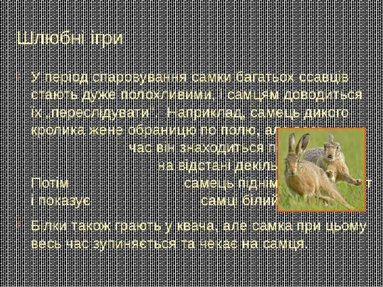 Шлюбні ігри У період спаровування самки багатьох ссавців стають дуже полохлив...