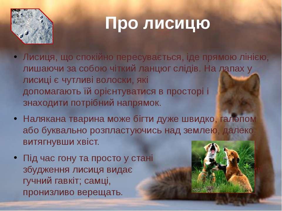 Лисиця, що спокійно пересувається, іде прямою лінією, лишаючи за собою чіткий...