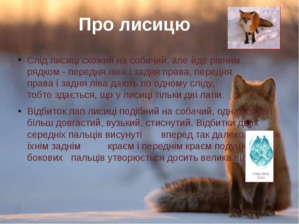 Слід лисиці схожий на собачий, але йде рівним рядком- передня ліваізадня п...