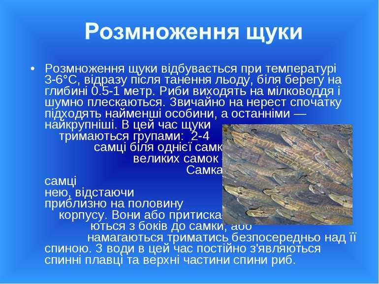 Розмноження щуки відбувається при температурі 3-6°С, відразу після танення ль...