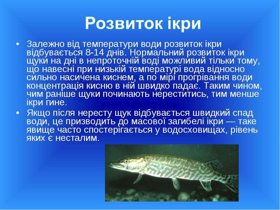 Залежно від температури води розвиток ікри відбувається 8-14 днів. Нормальний...