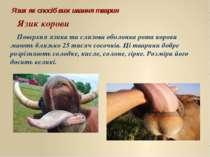 Язик як спосіб виживання тварин Язик корови Поверхня язика та слизова оболонк...