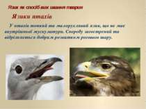 У птахів тонкий та малорухливий язик, що не має внутрішньої мускулатури. Спер...