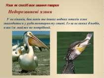 Язик як спосіб виживання тварин У пеліканів, бакланів та інших водних птахів ...