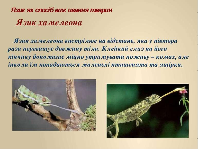 Язик хамелеона вистрілює на відстань, яка у півтора рази перевищує довжину ті...
