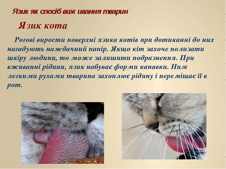 Рогові вирости поверхні язика котів при дотиканні до них нагадують наждачний ...