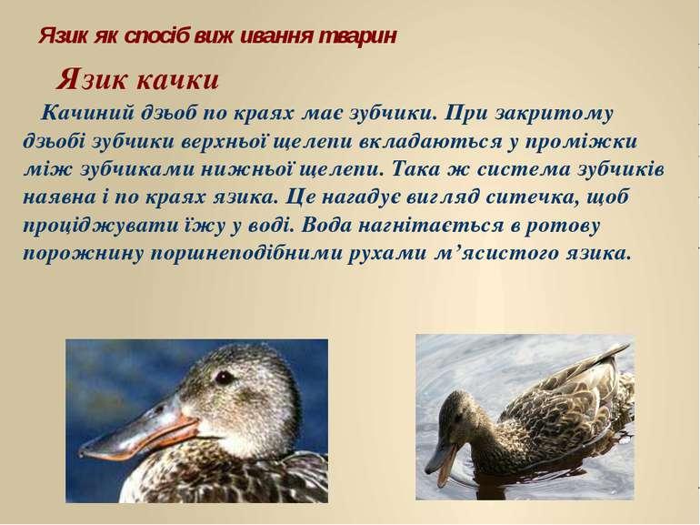 Язик качки Язик як спосіб виживання тварин Качиний дзьоб по краях має зубчики...