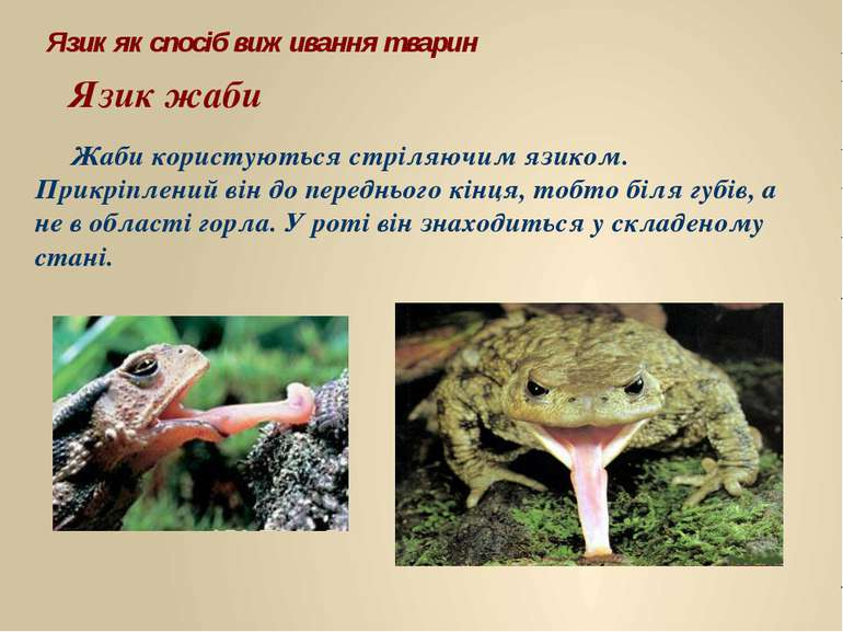 Жаби користуються стріляючим язиком. Прикріплений він до переднього кінця, то...