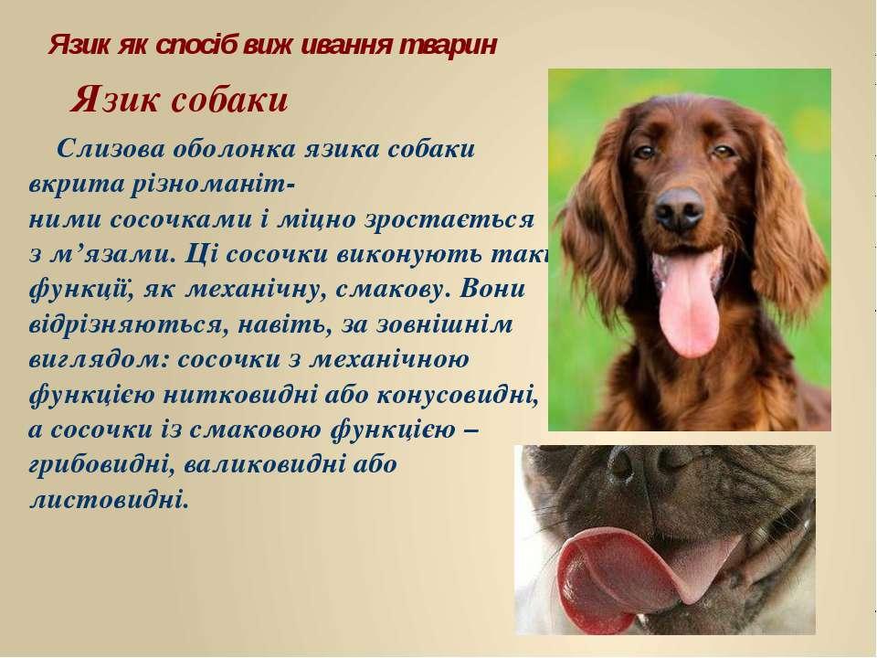 Слизова оболонка язика собаки вкрита різноманіт- ними сосочками і міцно зрост...