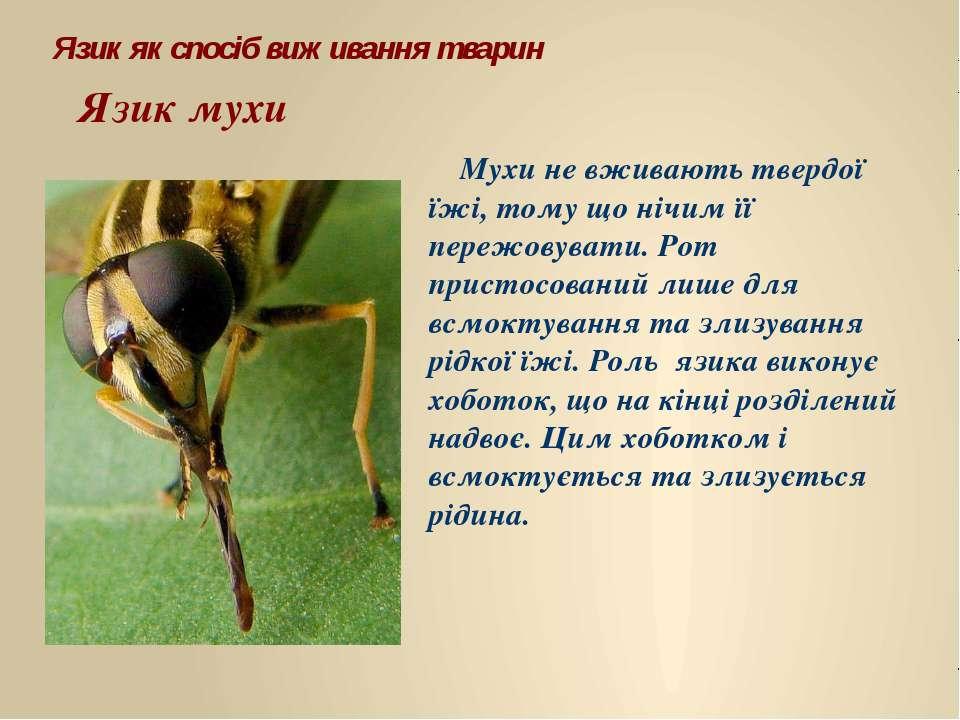 Язик мухи Мухи не вживають твердої їжі, тому що нічим її пережовувати. Рот пр...
