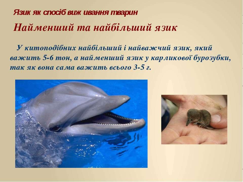 У китоподібних найбільший і найважчий язик, який важить 5-6 тон, а найменший ...