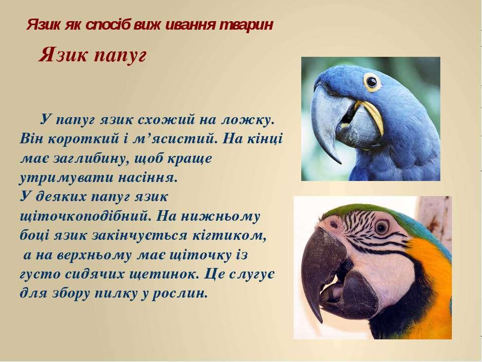 У папуг язик схожий на ложку. Він короткий і м'ясистий. На кінці має заглибин...
