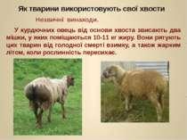 У курдючних овець від основи хвоста звисають два мішки, у яких поміщаються 10...