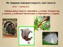 Як тварини використовують свої хвости Хвіст - прикраса. Найкрасивіші хвости, ...