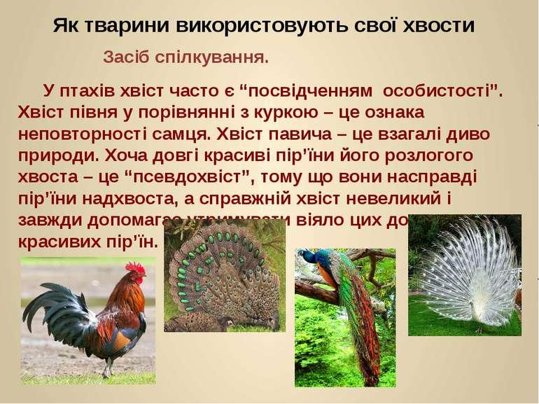 """У птахів хвіст часто є """"посвідченням особистості"""". Хвіст півня у порівнянні з..."""