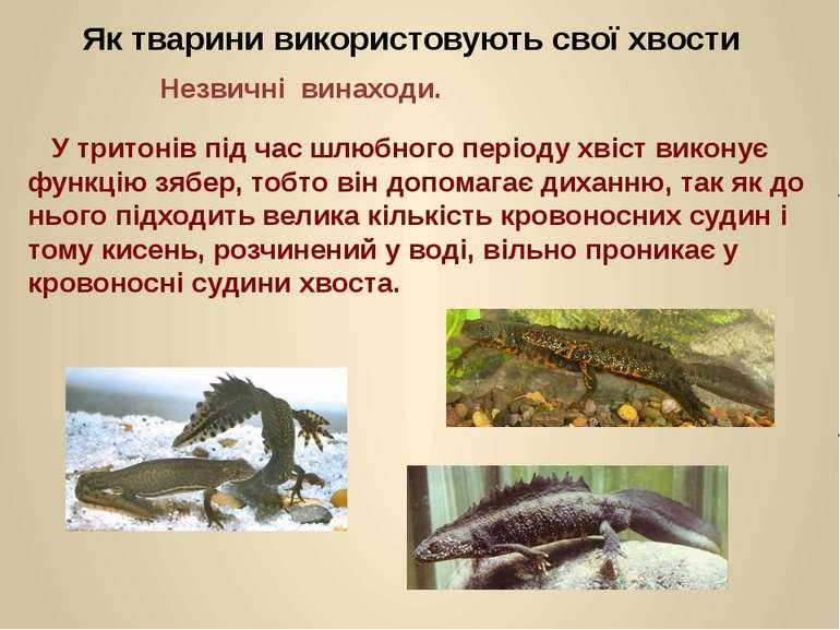 У тритонів під час шлюбного періоду хвіст виконує функцію зябер, тобто він до...