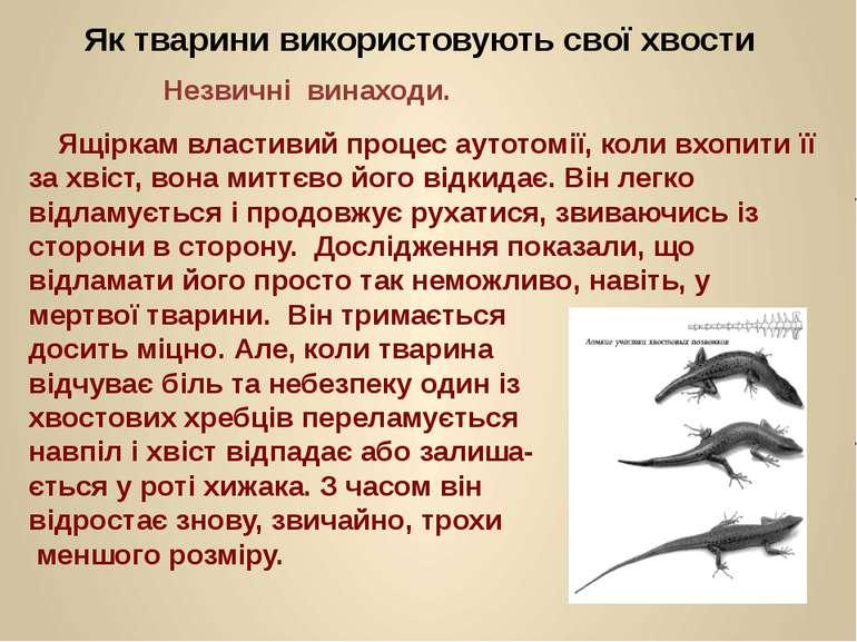 Як тварини використовують свої хвости Незвичні винаходи. Ящіркам властивий пр...