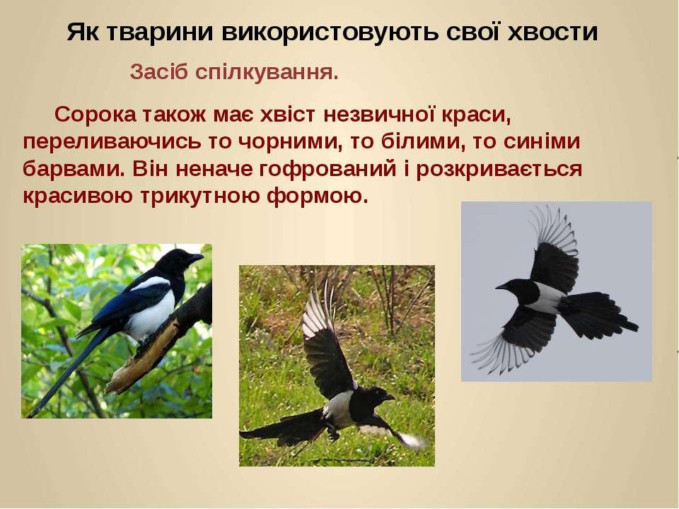 Сорока також має хвіст незвичної краси, переливаючись то чорними, то білими, ...