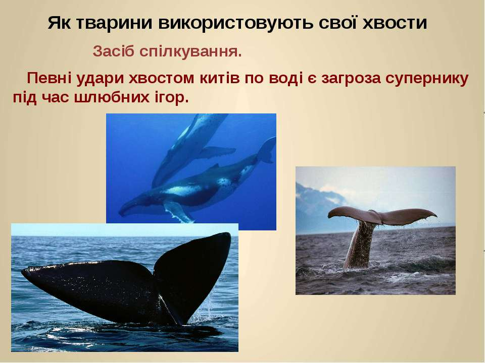 Певні удари хвостом китів по воді є загроза супернику під час шлюбних ігор. Я...
