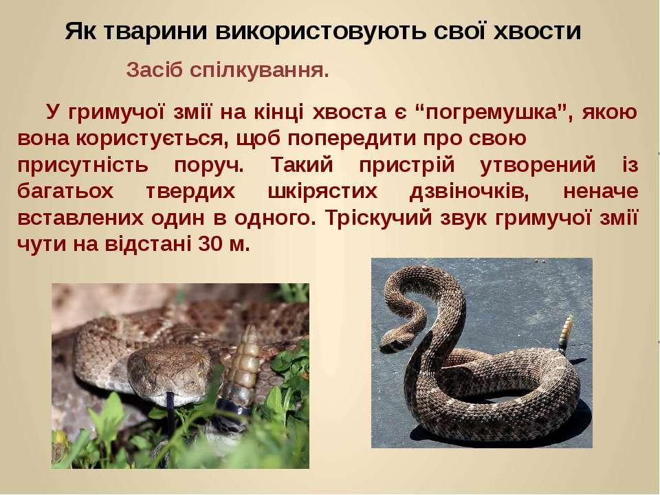 """У гримучої змії на кінці хвоста є """"погремушка"""", якою вона користується, щоб п..."""