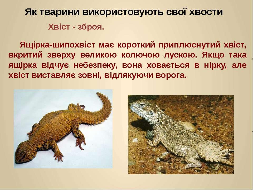 Ящірка-шипохвіст має короткий приплюснутий хвіст, вкритий зверху великою колю...
